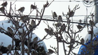 SparrowsEnlg.JPG